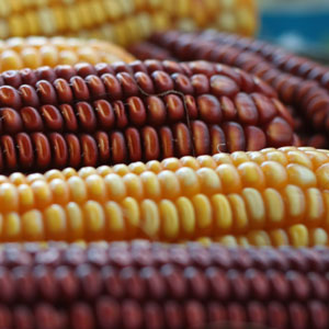 Corn Recipes: Cooking, BBQ, Barbecue, Grilling, Outdoor Entertaining, Sweet Corn
