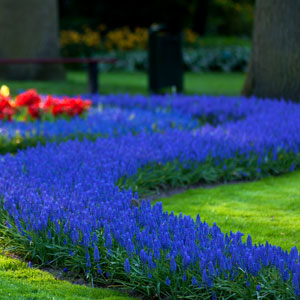 Flowers in Keukenhof Gardens, Holland