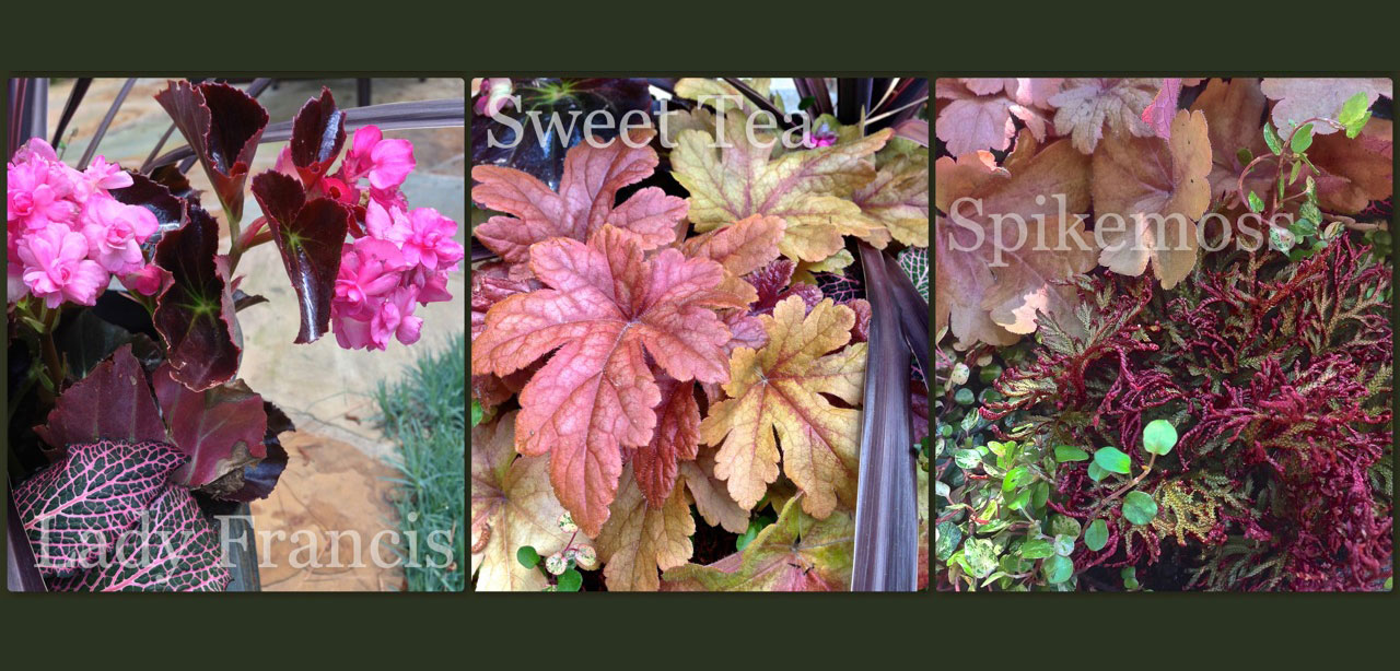 planter ideas, begonia, heucherella, spikemoss