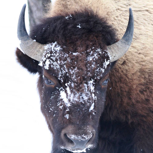Yellowstone National Park, wildlife, bison