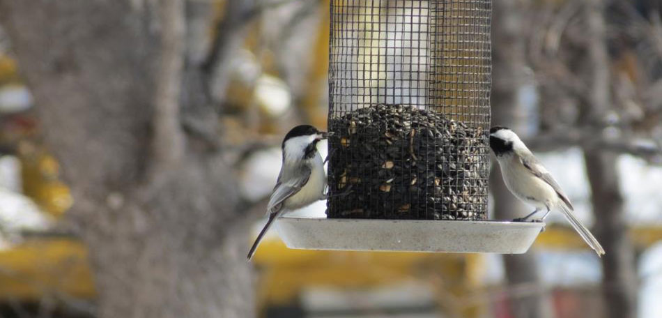 fan photos, bird feeder, chickadees, black capped chickadees, backyard