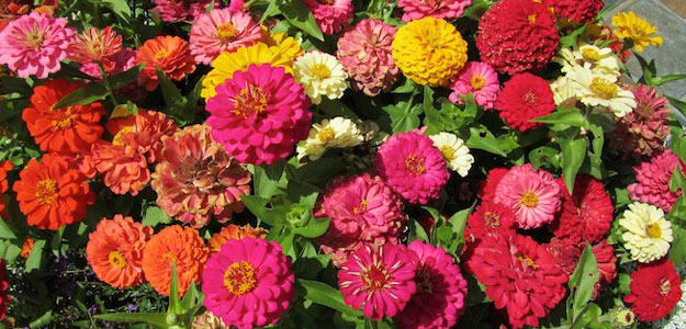 Popular Flowers - Zinnia - California Giant Zinnias