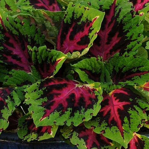 new flowers for 2014, flower variety, shade flowers, annual, Coleus Kong Jr.