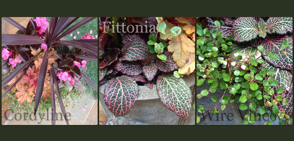 planter ideas, cordyline, fittonia, wire vine