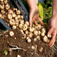 how to grow potatoes in a plastic barrel