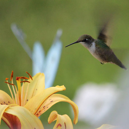 fan photos, hummingbird, flower, photo, hummingbird photo, garden