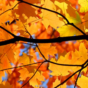 Fall Foliage, Autumn Foliage, Fall Colors, Autumn Colors, Autumn Leaves, Autumn Trees, Garden, Maple Trees, Maples, Maple Leaves, Autumn, Fall, Red, Orange, Sugar Maple, Acer saccharum