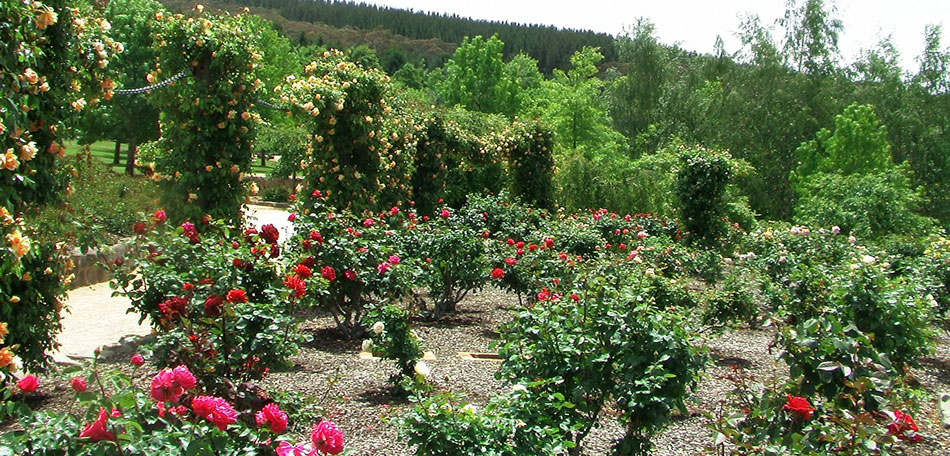 Mayfield Garden, Australia attractions, flowers, rose garden, rose bushes