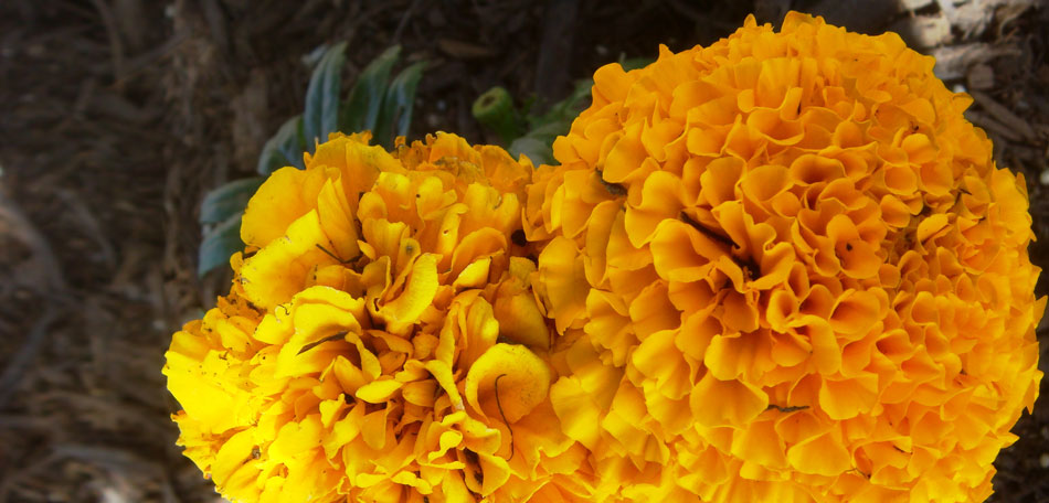 new flowers for 2014, flower variety, full sun flowers, Mexican marigold, African marigold, annual