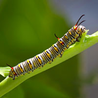 Monarch Butterfly: Butterflies - Garden - Milkweed - Monarch Butterfly Caterpillar - Monarch Caterpillar