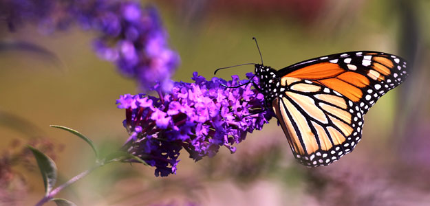 Monarch Butterfly: Butterflies - Garden - How to Attract Butterflies - Gardening