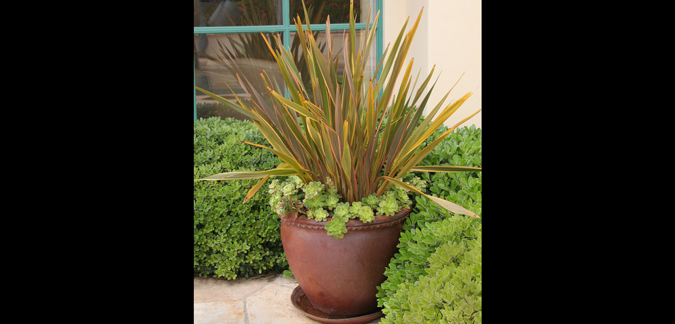 new zealand flax phormium plant container plant new zealand fall
