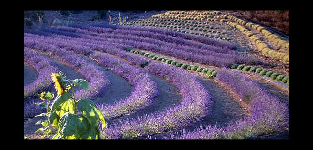 This Lavender Labyrinth In Michigan 100 Images See