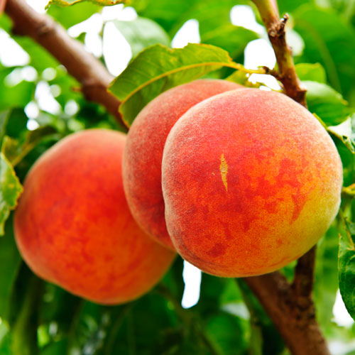 peaches, tree, orchard