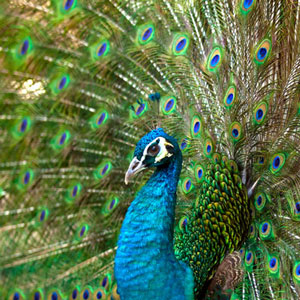 animals, animal, bird, birds, peacock, peacocks, Indian Peacock, Male, Male Indian Peacock, Peacock Feather, Peacock Feather Colors, Peacock Colors, Peacock Color, Symbol, Symbolism, Hindu, India, National Bird
