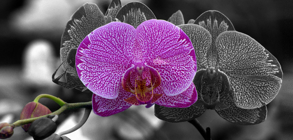 types of orchids, Phalaenopsis