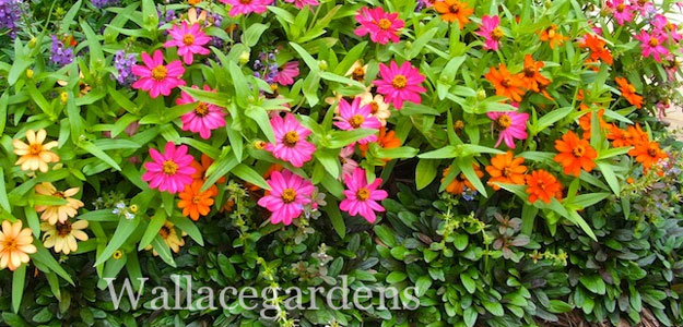 Popular Flowers - Zinnia - Profusion Series Zinnias