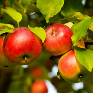 apple recipes: apples, trees, recipe, recipes, fall, autumn