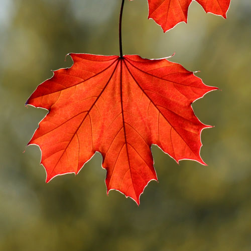 Autumn Foliage The Magic Of Maples 171 Bombay Outdoors
