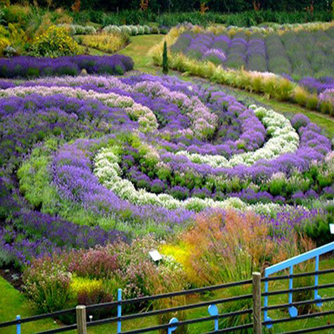 Lavender Festivals: List - 2013 - Yorkshire Lavender Gardens - United Kingdom